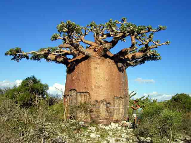 baobabs-arbre-bouteille-3