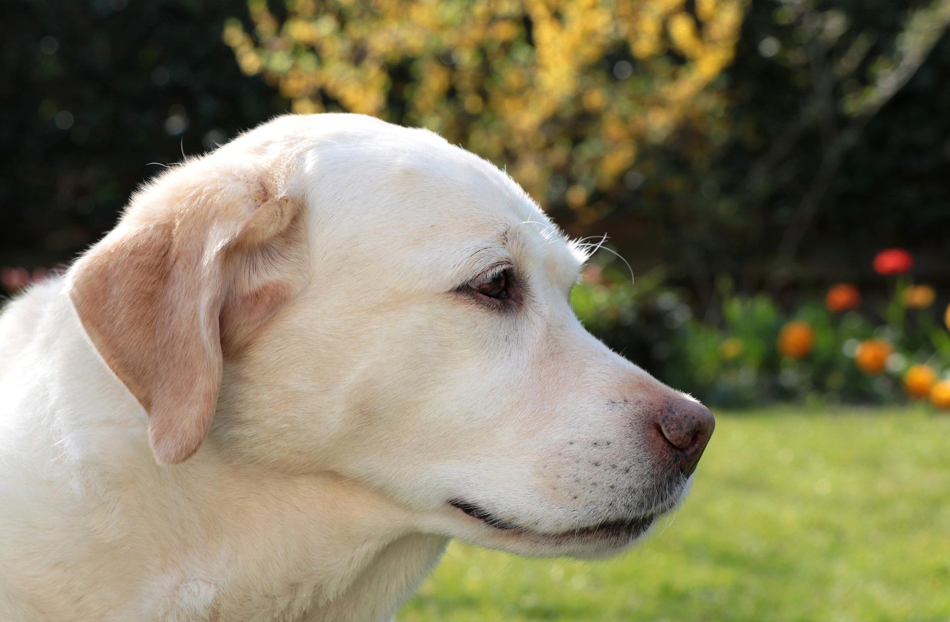 chien-pour-aveugle